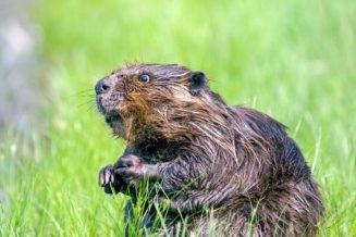 20 interesujących ciekawostek o bobrach